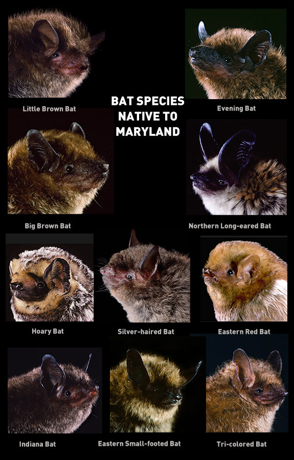 Bat Species Native to Maryland