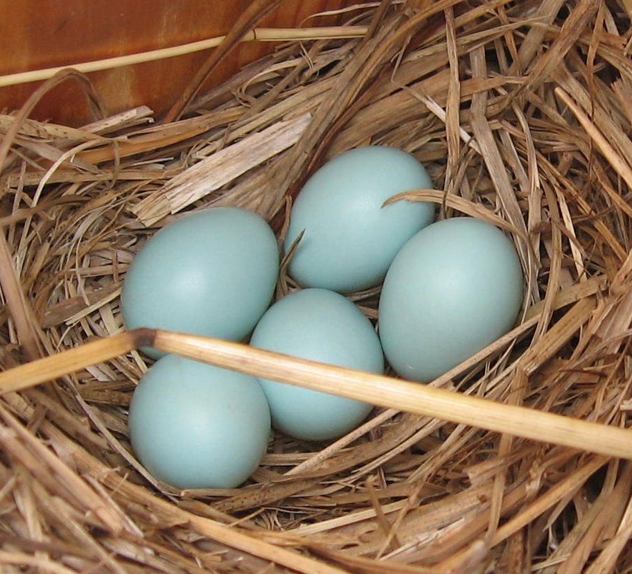Bluebird nesting box filled with eggs. The Backyard Naturalist reminds you it's time to clear out the old debris and get those boxes up.