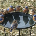 Bluebirds gather around bird bath at Jenny Hendershot's house.