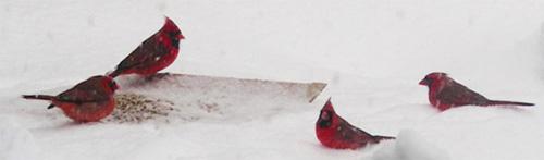 Cardinals-snowy2