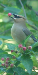 Birds are also pollinators! Cedar Wax Wing eating service berries perched in service berry bush..