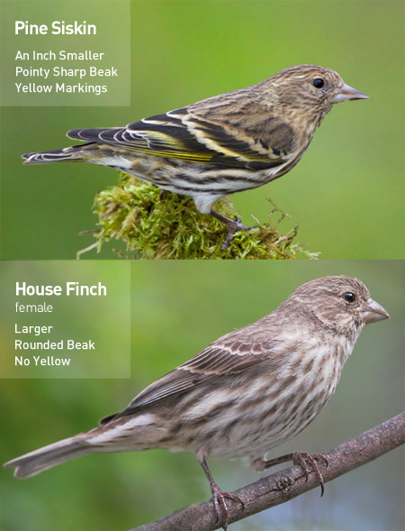 Two images, one House Finch female and one Pine Siskin, with descriptions of their differences in appearance.