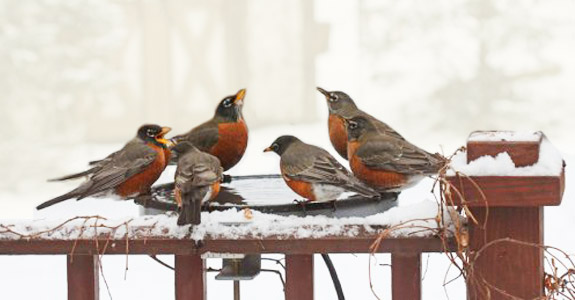 The Backyard Naturalist's deck-mounted, heated bird bath attracts a crowd of Robins on a snowy day.