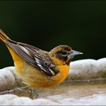 Female Baltimore Oriole visits backyard bird bath. Photo by Tom WIldoner, via flickr