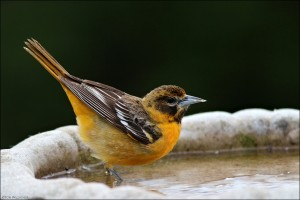 Female Oriole in Tom's Bird bath!
