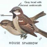 Diagram illustration of House Sparrows male and female denoting distinguishing characteristics.