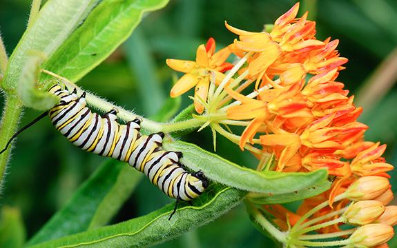 Monarch Caterpillar on Milkweed Plant. Plant Milkweed, America! The Backyard Naturalist has native milkweed seeds for planting.