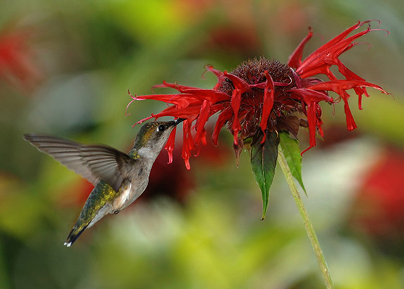 Ruby-throated Hummingbird Female feeding on nectar from scarlet beebalm. From Wikipedia.