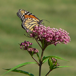 Monarch Butterfly on Swamp Milkweed, Wikipedia