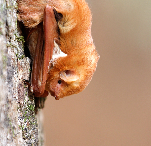 Eastern Red Bat photo by Mary Sonis, via flickr
