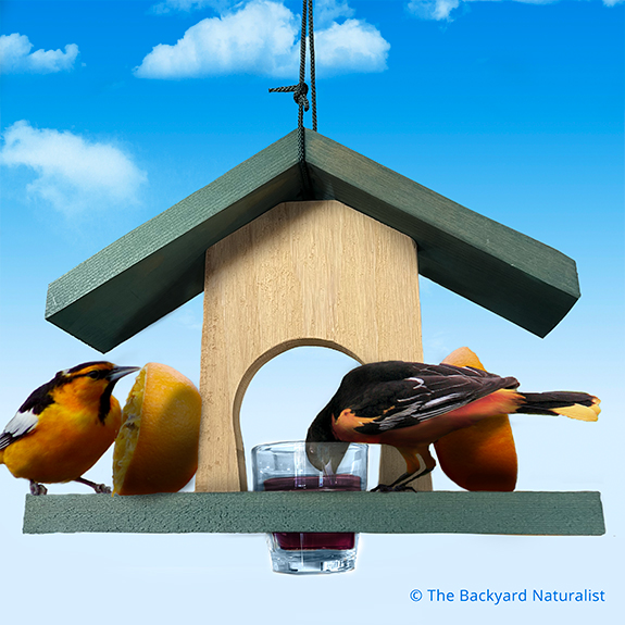 The Backyard Naturalist loves Baltimore Orioles! We stock many options for feeding fruit and jelly eaters.