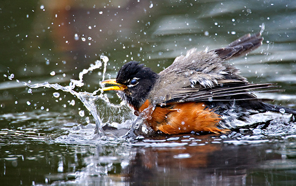 American Robin enjoying a backyard bird bath. Find out how your backyard can be a haven for wild birds from The Backyard Naturalist's Backyard Habitat reference pages.