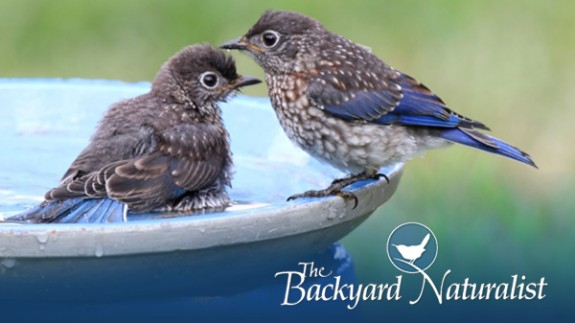The Backyard Naturalist's reasons why mosquitoes are not breeding in your bird bath.