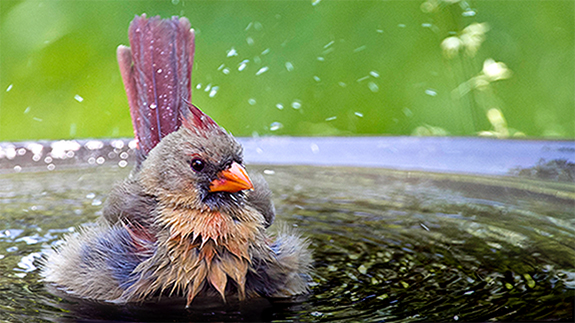 The Backyard Naturalist reminder to keep water available for wild birds.