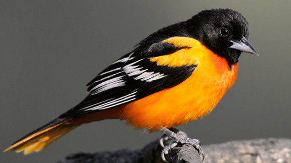 Baltimore Orioles, and many other species of our backyard migratory birds, are struggling to find food in devastated Caribbean winter habitats.