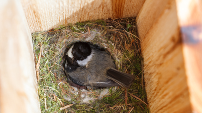 The Backyard Naturalist has bird houses appropriate for Black-capped Chickadees nesting. Secure and protected from weather and treacherous English House Sparrows.