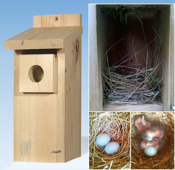 The Backyard Naturalist Bluebird Nesting Box from Garden Gate enterprises hosts Bluebird family.