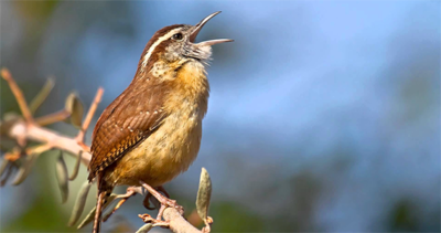 Carolina Wren singing its heart out. This bird inspired The Backyard Naturalist logo, thirty years ago, and continues to inspire us daily. Photo Lorraine Hudgins /Shutterstock