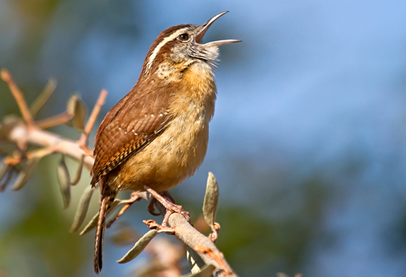 Carolina Wren, The Backyard Naturalist's favorite song bird.