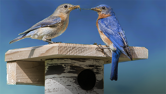 The Backyard Naturalist hopes that early-nesting Eastern Bluebirds choose your yard for raising their families this season, 2021. Is your nest box ready?