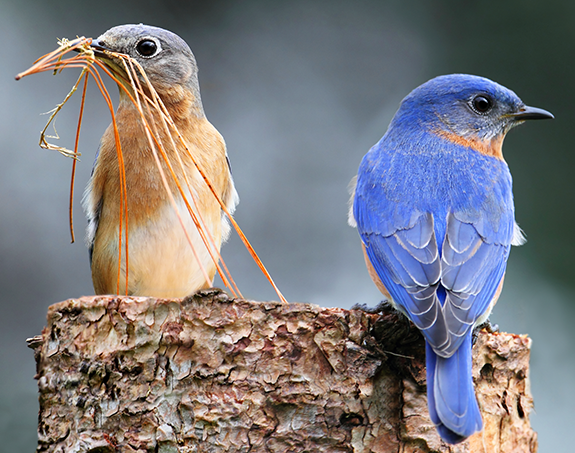 Eastern Bluebirds pair up and scout for nests. They start defining and defending their nesting site earlier than other species.