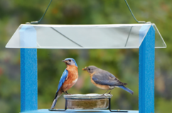 Going Green Bluebird Feeder