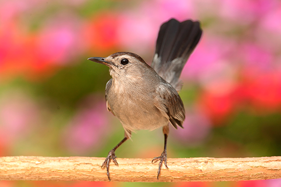 The Backyard Naturalist can't wait to see the Gray Catbirds arrive this Spring!