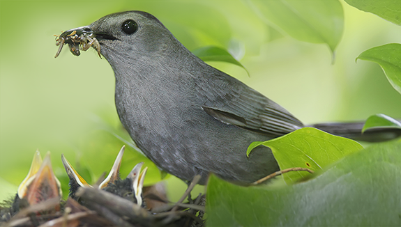 The Backyard Naturalist - Gray Catbird brings tasty insect to her nestlings. Every backyard can be a habitat for wild birds.