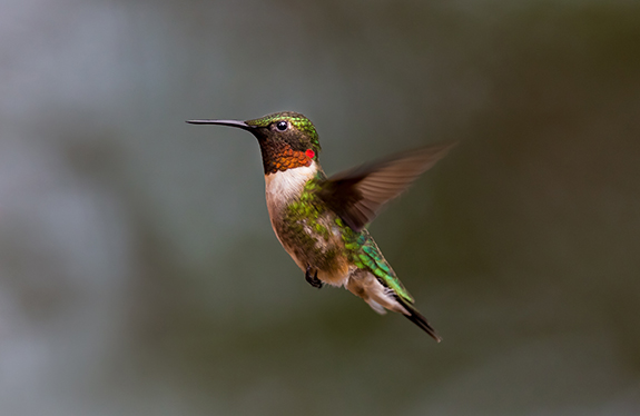 Ruby-throated Hummingbirds are bulking up in preparation for Fall Migration.