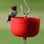Ruby-throated Hummingbird rests on the Nectar Protector Ant Moat hanging above a Hummingbird Nectar Feeder.