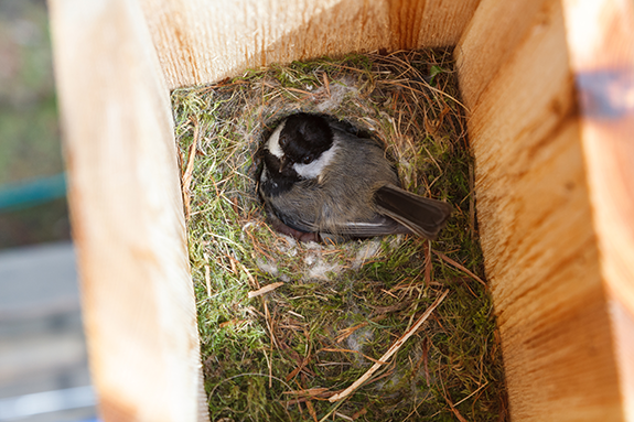 The Backyard Naturalist has tips on choosing, placing and maintaining bird houses and nesting boxes.