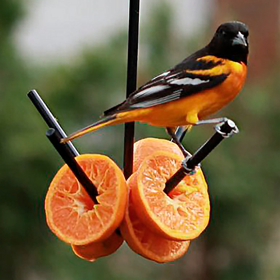 The Backyard Naturalist has many options for fruit feeders. This one is super easy! Just place grapes or oranges on the prongs, hang it up and let your Orioles, Robins, Catbirds and more, enjoy a treat.