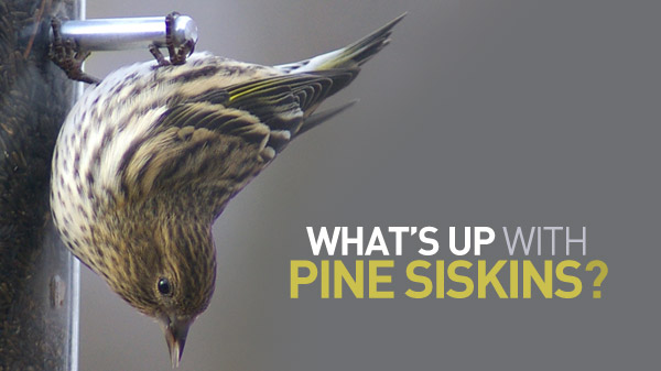 Image of Pine Siskin feeding upside down, with text What's Up with Pine Siskins?