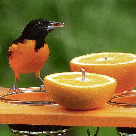 Feed your backyard Baltimore Orioles orange halves and grape jelly. They love it!