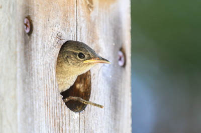 The Backyard Naturalist will help you find the anatomically correct bird house for your backyard birds and where to place it in your habitat.