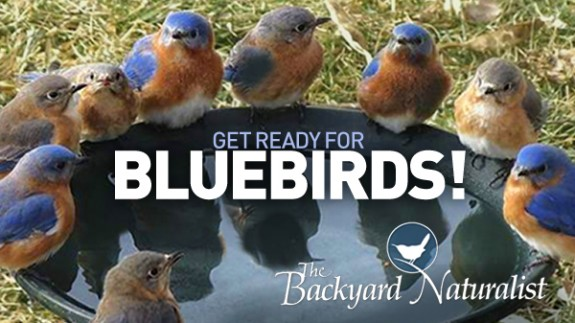 The Backyard Naturalist is ready for Bluebird nesting season.