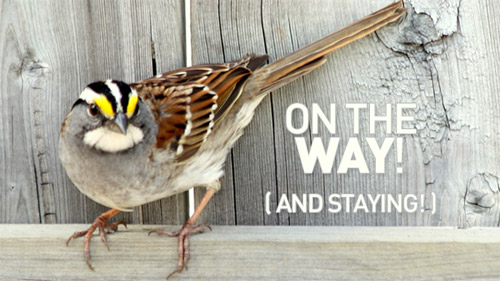 White-throated Sparrow pauses on backyard fence.