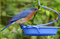 Bluebird Metal Meal Worm Feeder