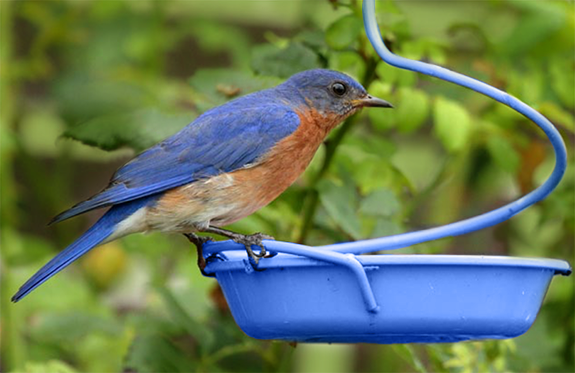 The Backyard Naturalist has options for Bluebird specific feeders, like the Hanging Metal Meal Worm Feeder from Droll Yankees.