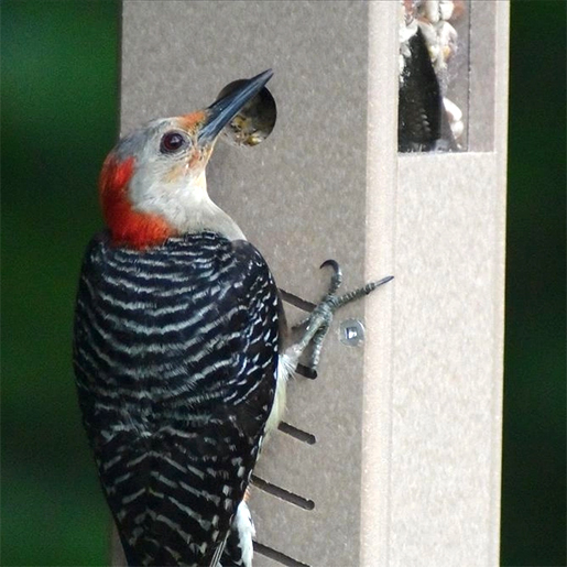 The Backyard Naturalist has Peanut Feeders for Woodpeckers, like this one made from Recycled poly-lumber that has two grommet feeding ports to support two woodpeckers at once.