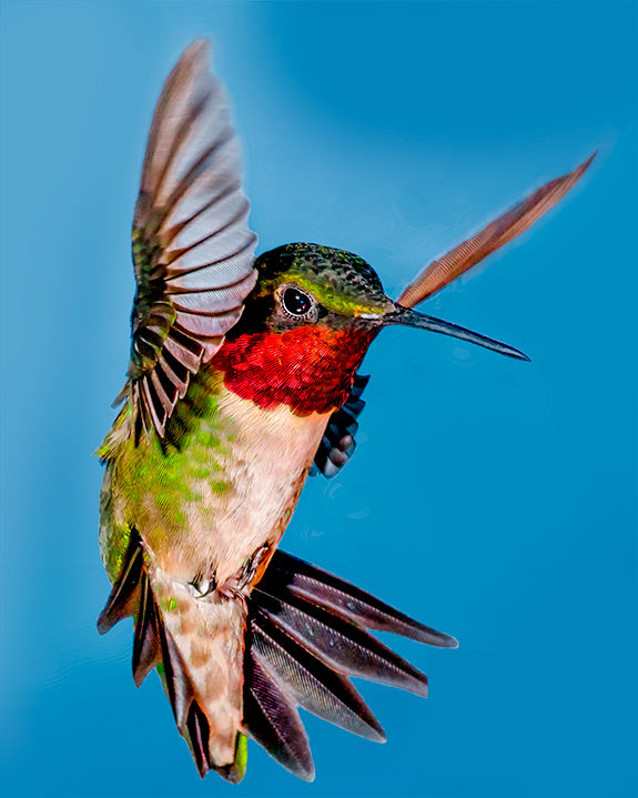 The Backyard Naturalist is watching eagerly for Ruby-throated Hummingbirds at nectar feeders. They're on the way! Get your feeders up now.