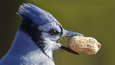 Blue Jay retrieves peanut in-the-shell from backyard bird feeder. Maryland Department of Natural Resources says safe to resume feeding wild birds after spring and summer unusual number of bird deaths. Exact cause is still unknown.