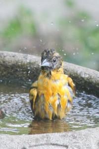 Young Baltimore Oriole in Backyard Bird Bath